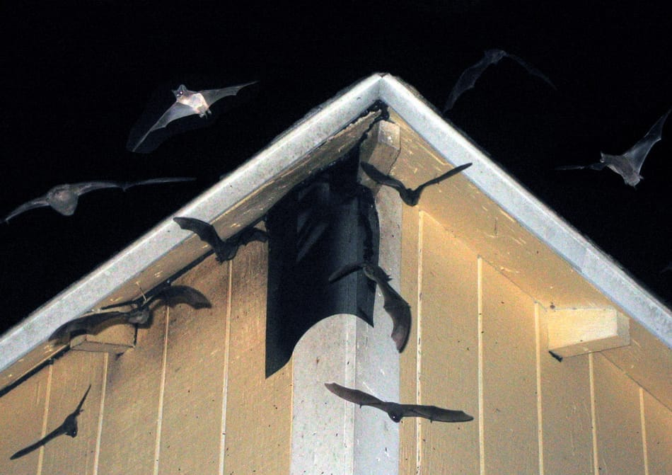 Bat Removal Services